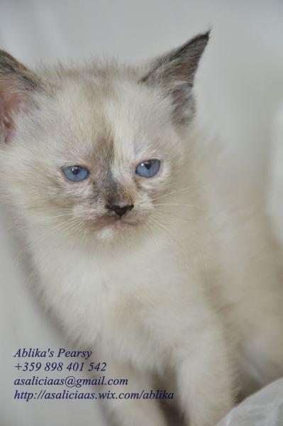 7. Снимка на Имаме котенца Летни цени Уникални породи