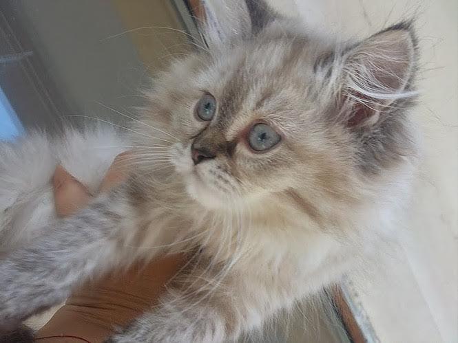 8. Снимка на Имаме котенца Летни цени Уникални породи