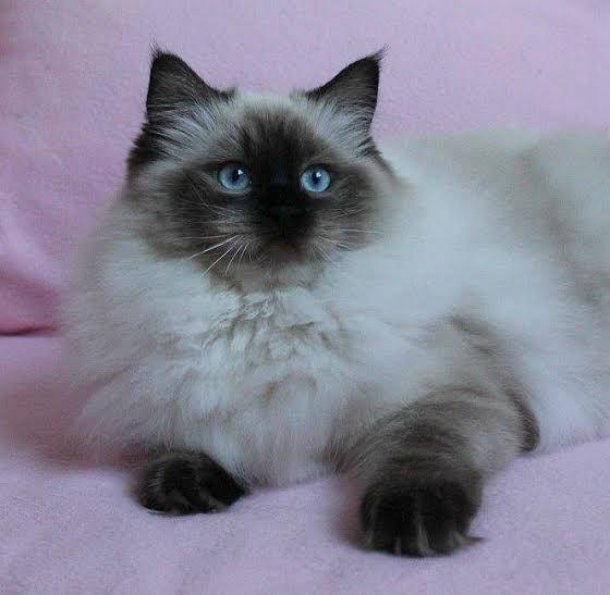 9. Снимка на Имаме котенца Летни цени Уникални породи