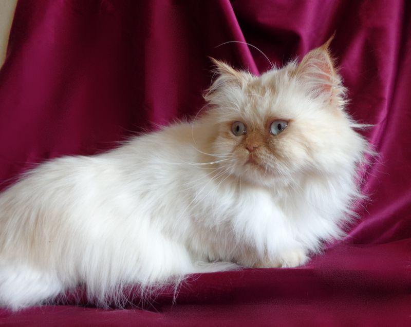 11. Снимка на Имаме котенца Летни цени Уникални породи