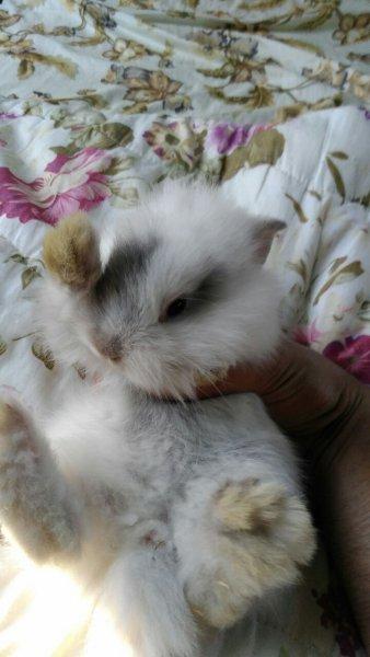 Мини зайчета - ангорски