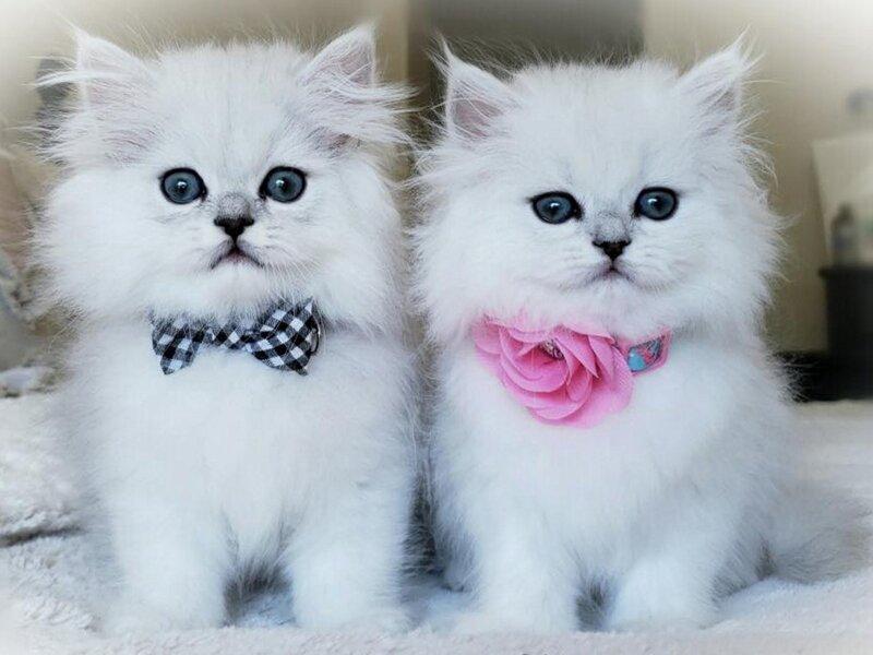1. Снимка на Чистокръвни женски и мъжки котенца Сребърна чинчила