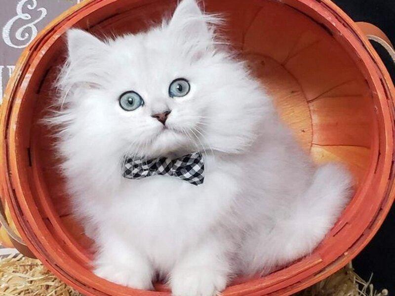 2. Снимка на Чистокръвни женски и мъжки котенца Сребърна чинчила