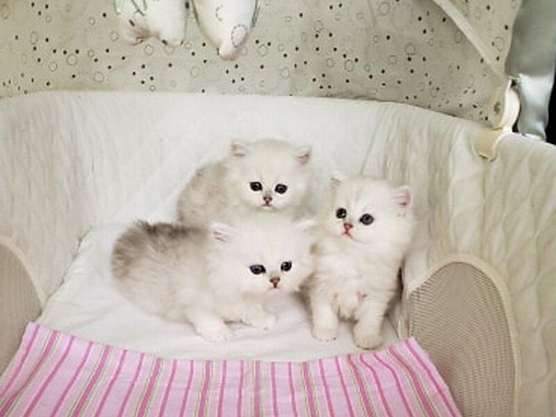 3. Снимка на Чистокръвни женски и мъжки котенца Сребърна чинчила
