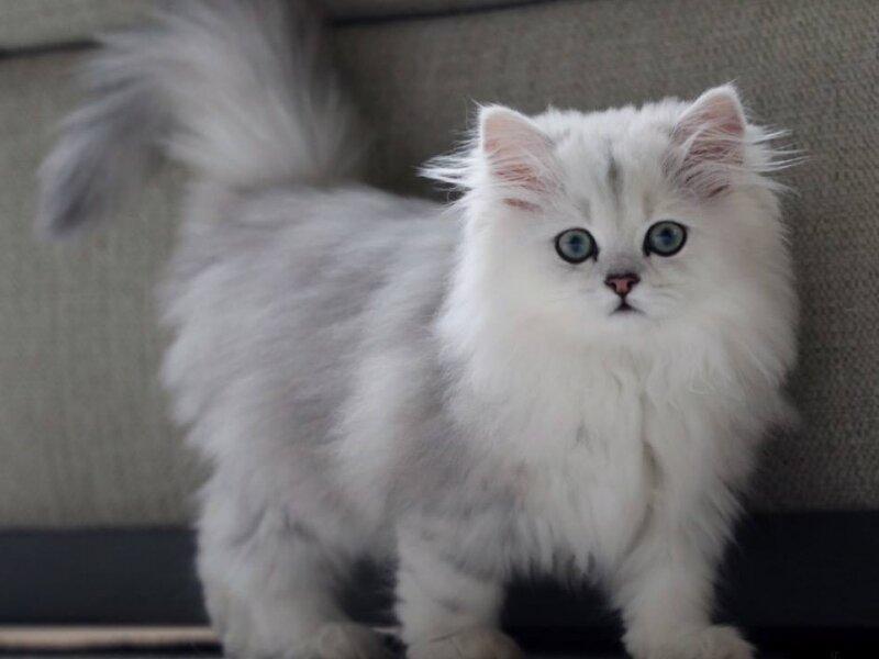 4. Снимка на Чистокръвни женски и мъжки котенца Сребърна чинчила