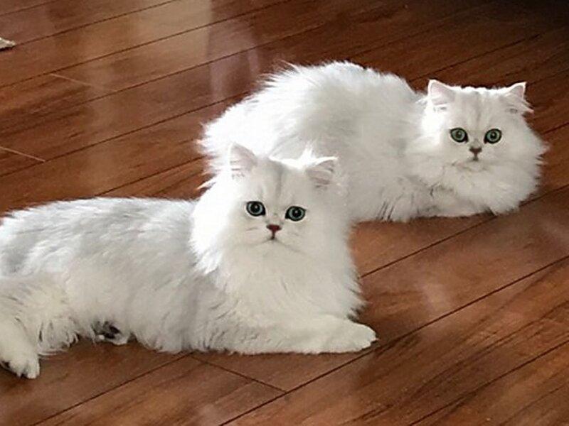 5. Снимка на Чистокръвни женски и мъжки котенца Сребърна чинчила
